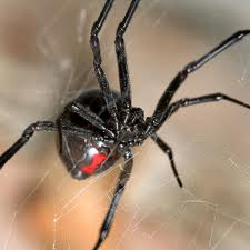 A pair of Giant Black Widow Spiders!