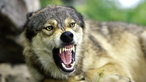 how-do-wolves-protect-themselves_028f4325-e514-4aa8-a912-9a242db6a8b9