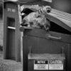 raccoon4
